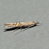 1480 – Cosmopterix delicatella