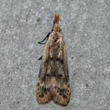 2288 – Many-spotted Dichomeris – Dichomeris punctipennella