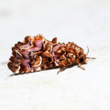 9631 – Pink-shaded Fern Moth – Callopistria mollissima