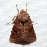 10563 – Ruddy Quaker – Protorthodes oviduca