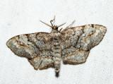 6656 – Pine Measuringworm Moth – Hypagyrtis piniata *
