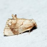 4659 – Jeweled Tailed Slug Moth – Packardia geminata