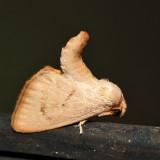 4653 – Red-crossed Button Slug Moth – Tortricidia pallida