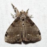 8316 - White-marked Tussock Moth - Orgyia leucostigma