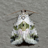 9049 - Black-dotted Glyph - Maliattha synochitis