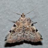 8340 - Lettered Zanclognatha - Zanclognatha lituralis