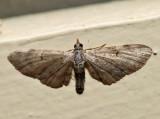 7474 - Common Eupithecia - Eupithecia miserulata (f)