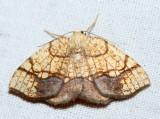 7010 - Horned Spanworm - Nematocampa resistaria