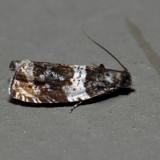2823 – Olethreutes fasciatana