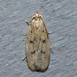 1142 – Glyphidocera septentrionella