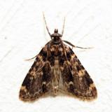 5517 - Stored Grain Moth - Aglossa caprealis