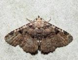 8500 – Four-spotted Fungus Moth – Metalectra quadrisignata