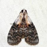 5608 – Striped Oak Webworm Moth – Pococera expandens