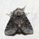 7931 – Common Gluphisia – Gluphisia septentrionis