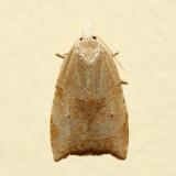 3747 - Batman Moth - Coelostathma discopunctana