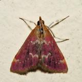 5034 - Raspberry Pyrausta - Pyrausta signatalis