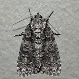 9247 – Acronicta tristis