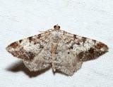 6352 – Granite Moth – Macaria granitata
