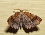 6835 - Scallop Moth - Cepphis armataria