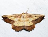 6724 - Saw-wing - Euchlaena serrata