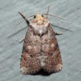 10532 – Northern Scurfy Quaker – Homorthodes furfurata