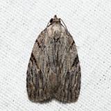 9663 - Three-lined Balsa - Balsa tristrigella