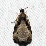 2787 – Bunchberry Leaffolder – Olethreutes connectum