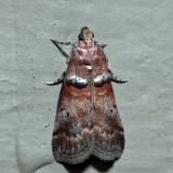 5691 – Sweetfern Leaf Casebearer – Acrobasis comptoniella