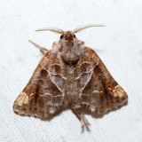 7898 – Striped Chocolate-tip Moth – Clostera strigosa