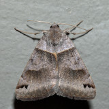 8738 - Clover Looper - Caenurgina crassiuscula