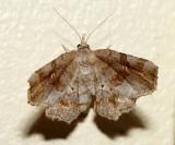 8490 – Decorated Owlet – Pangrapta decoralis