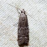 6032 – Eurythmia angulella