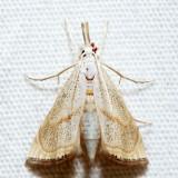 5489 – Peppered Haimbachia – Haimbachia placidella
