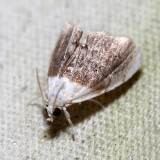 4888 – Sooty Lipocosmodes – Lipocosmodes fuliginosalis