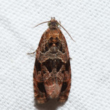2779 – Olethreutes fraternanum (T)