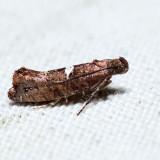 2490 - Carrionflower Moth - Acrolepiopsis incertella