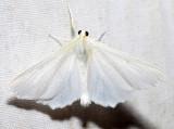 6798 – Elm Spanworm – Ennomos subsignaria
