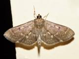 5280 – Serpentine Webworm Moth – Herpetogramma aeglealis