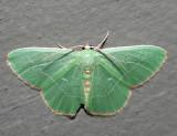 7046 – Red-fringed Emerald – Nemoria bistriaria