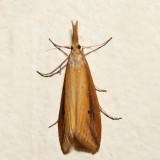 5316 – Donacaula melinellus