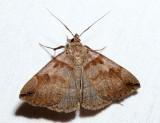 8345 - Variable Zanclognatha - Zanclognatha laevigata
