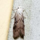 5629 – The Bee Moth – Aphomia sociella (male)