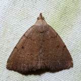 8350 – Zanclognatha martha