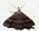 8364 – Black-banded Owlet – Phalaenostola larentioides