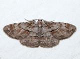 6582 - Large Purplish Gray - Iridopsis vellivolata (m)