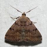 8349.1 – Zanclognatha dentata