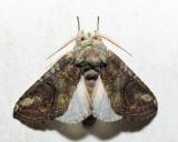 7983 – Oblique Heterocampa – Heterocampa obliqua