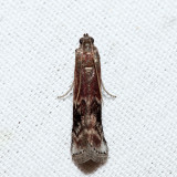 5997 – Root Collar Borer – Euzophera ostricolorella
