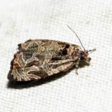 2776 – Woolly-backed Moth – Olethreutes furfuranum