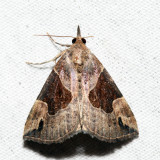 8441 - Flowing-line Hypena - Hypena manalis